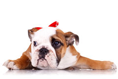 English bulldog puppy wearing a red ribbon Royalty Free Stock Photos