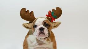 English bulldog puppy dressed as reindeer