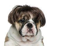 English bulldog puppy wearing a wig in front of white background Royalty Free Stock Photo