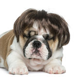 English bulldog puppy wearing a wig in front of white background Royalty Free Stock Photography