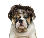 English bulldog puppy wearing a wig in front of white background. Close-up of English bulldog puppy wearing a wig in front of white background Royalty Free Stock Photography