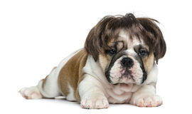 English bulldog puppy wearing a wig in front of white background Stock Images