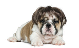 English bulldog puppy wearing a wig in front of white background Stock Photography