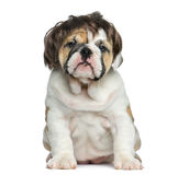 English bulldog puppy wearing a wig in front of white background Royalty Free Stock Image