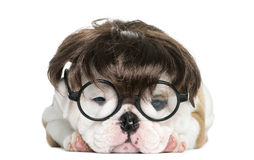 English bulldog puppy wearing a wig and glasses Stock Photography