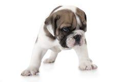 English Bulldog puppy on white Stock Photography