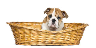 English Bulldog Puppy in a wicker basket, 2 months old Stock Photo