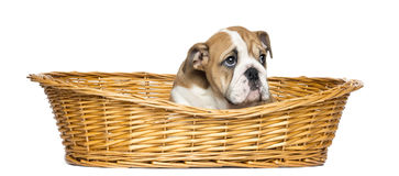English Bulldog Puppy in a wicker basket, 2 months old. Isolated on white stock images