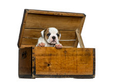English bulldog puppy in a wooden chest Royalty Free Stock Images