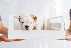 English bulldog puppy in a wooden white box. Gift for birthday royalty free stock image