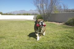 English bulldog with red bone named Luka playing in back yard in Tucson, AZ Royalty Free Stock Image