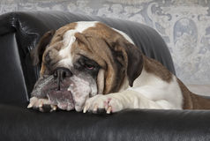English Bulldog relax in a black leather chair Stock Images