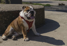 English bulldog relaxing in sunny day Royalty Free Stock Photo