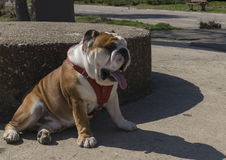 English bulldog relaxing in sunny day Royalty Free Stock Image