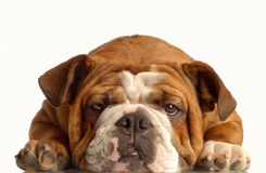 English bulldog resting Stock Image