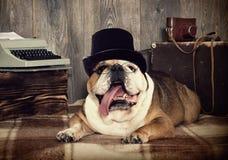 English bulldog retro style Stock Photography
