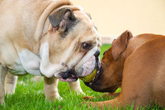 English bulldog and rhodesian ridgeback playing Stock Photos
