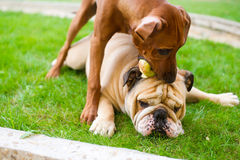 English bulldog and rhodesian ridgeback playing. Best dog friends english bulldog and rhodesian ridgeback playing outdoors in the garden Royalty Free Stock Photography