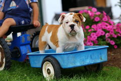 English Bulldog riding in blue toy wagon Royalty Free Stock Images