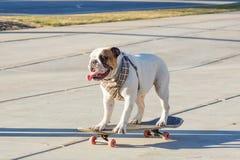 English bulldog riding a skateboard on the street Royalty Free Stock Image