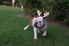 English Bulldog run on the park Royalty Free Stock Images