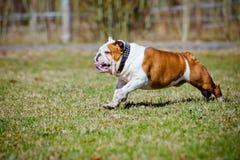 English bulldog running Stock Images