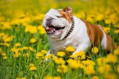 English bulldog running on dandelions field Stock Image