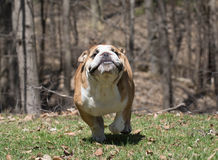 English bulldog running Stock Photos
