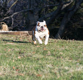 English bulldog running Royalty Free Stock Photos