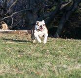 English bulldog running Royalty Free Stock Photos