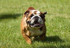 English bulldog running Royalty Free Stock Images
