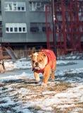 English bulldog running in the park Stock Image