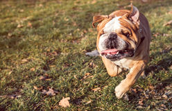 English bulldog running Royalty Free Stock Photo