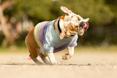 English Bulldog Shake Royalty Free Stock Image