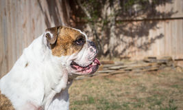 English Bulldog side profile. A purebred English bulldog poses with a wooden fence in the background Stock Images