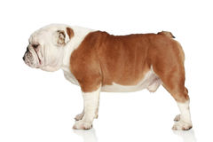 English bulldog. Side view Royalty Free Stock Photos