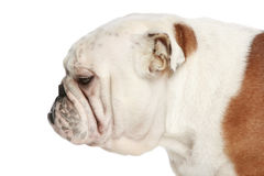 English bulldog. Side view Royalty Free Stock Photography