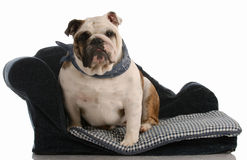English bulldog sitting on dog bed Royalty Free Stock Images