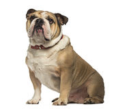 English Bulldog sitting and looking up Stock Photo