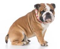 English bulldog sitting Stock Image