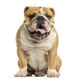 English Bulldog sitting, panting, isolated Stock Photo