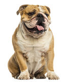 English Bulldog sitting, panting, isolated Stock Images