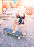 English bulldog on the skateboard. Big male of English bulldog with sunglasses posing on the skateboard,selective focus royalty free stock photos