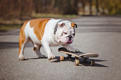 English bulldog on a skateboard Royalty Free Stock Photos