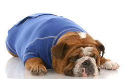 English bulldog sleeping Royalty Free Stock Photo