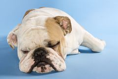 English Bulldog sleeping. Stock Image