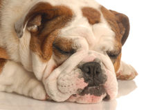 English bulldog sleeping Royalty Free Stock Photos