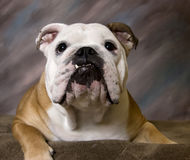 English Bulldog smiling portrait. A English Bulldog smiling studio portrait stock photography
