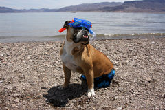 English Bulldog snorkeling portrait. English Bulldog Outdoor Portrait - bulldog standing at the lake shore posing for his snorkeling photo in full gear royalty free stock photos