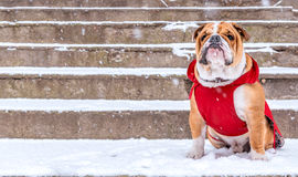 English bulldog on the snow Royalty Free Stock Photography